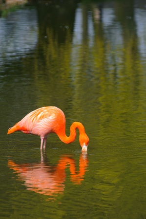 pink flamingo: Flamingo feeding with reflection in the water Stock Photo