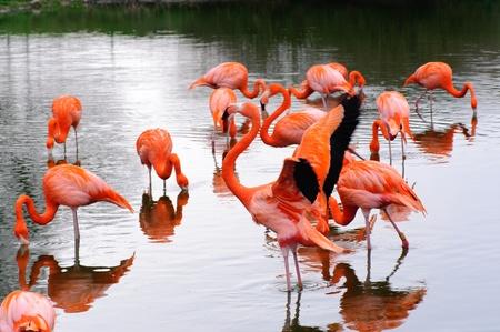 Eine Gruppe von Flamingos in einem Pool Fütterung und Flügeln schlagenden Standard-Bild - 9544525