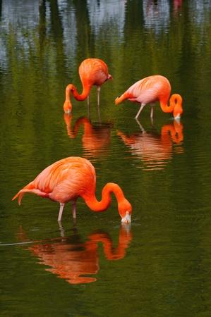 pink flamingo: Three flamingos feeding in a pool