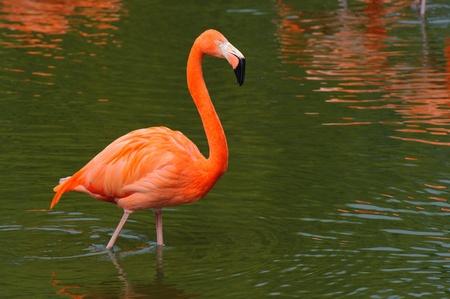 Flamingo zu Fuß in Wasser  Standard-Bild - 9544501