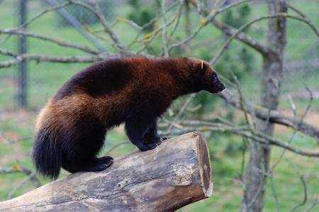 Wolverine standing on log