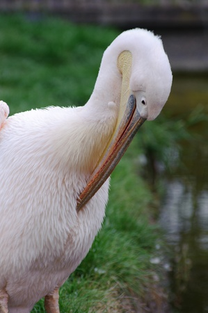Pelican cleaning itself with pool in background Stock Photo - 9542575
