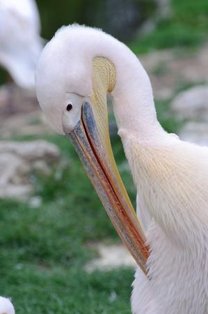 preening: Pelican preening itself with green background