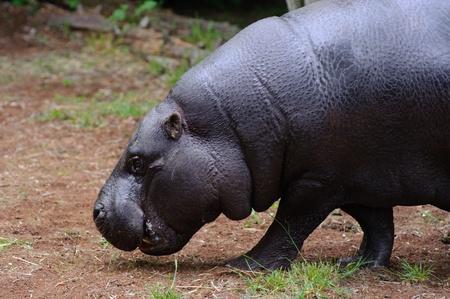 pygmy: Pygmy hippo walking on grass