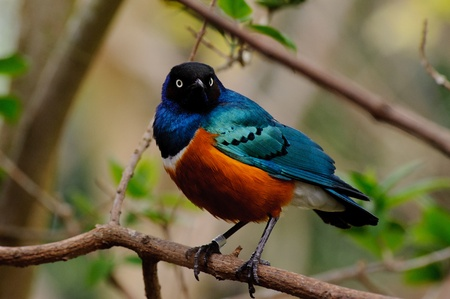 superb: Superb starling looks vibrant in a tree