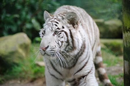 occhi sbarrati: Tigre bianca con gli occhi spalancati