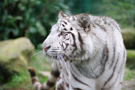 agitation: White tiger wags it tail in agitation Stock Photo