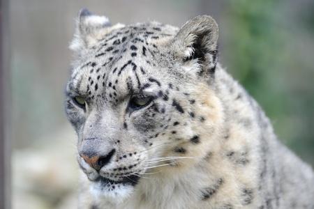 Snow leopard close-up of head