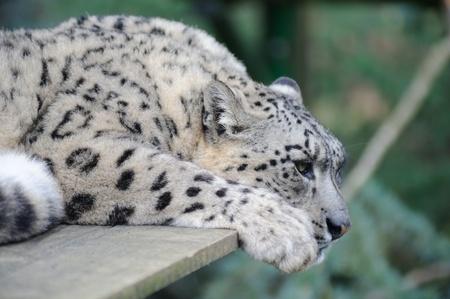 Snow leopard resting but alert