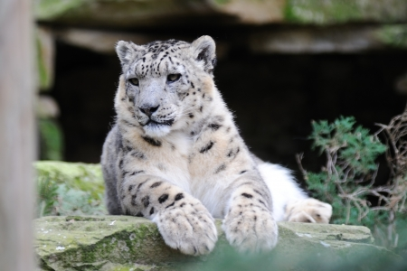 Snow leopard watching for prey photo