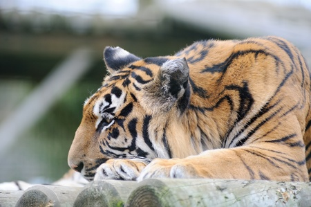 Tiger with head down on paw