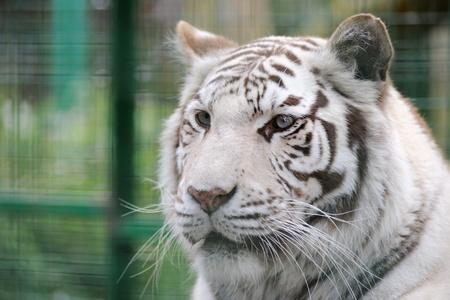tigre blanc: Détail blanc visage de tigre et des rayures Banque d'images