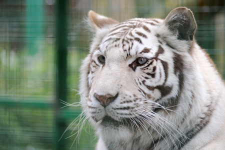 White tiger face detail and stripes photo