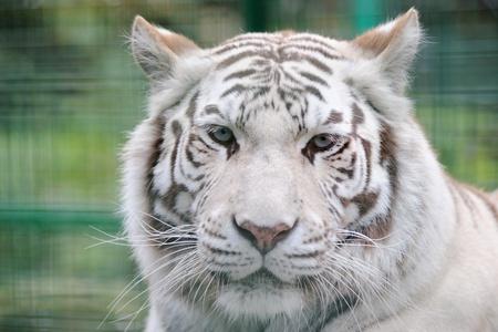 full face: White tiger full face ears back