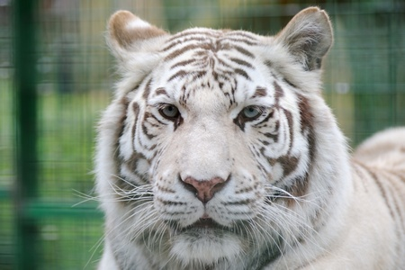 tiger white: White tiger face showing stripes