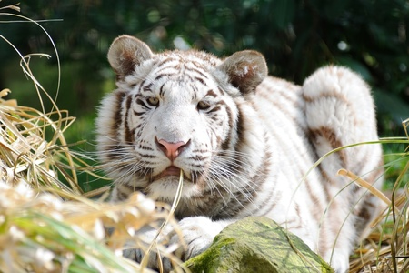 White tiger with grass in mouth looking Stock Photo - 12897490