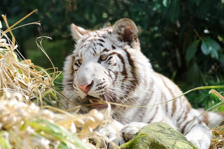 White tiger looks playful Stock Photo - 12897492