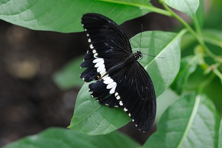 mormon: Common mormon butterfly on a leaf