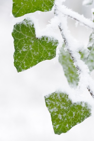 Ivy leaves closeup covered in snow during winter Standard-Bild