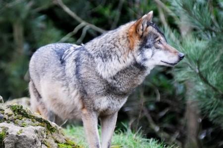 A single wolf standing in woods stalking prey photo