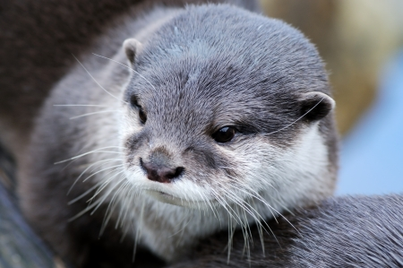 Cuttest otter photograph ever, closeup of fur photo