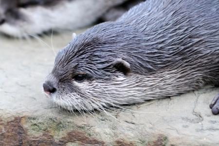 Closeup of cute otter profile
