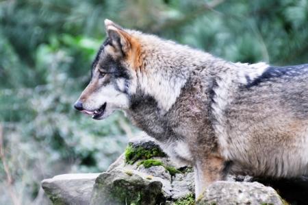 perceptive: Un lupo solitario in cerca leccate labbra affamate Archivio Fotografico