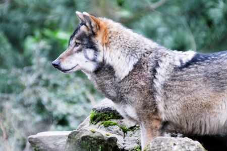 A lone wolf in a forest profile closeup
