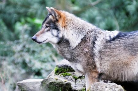 the wolf: Un lupo solitario in un profilo di primo piano della foresta Archivio Fotografico