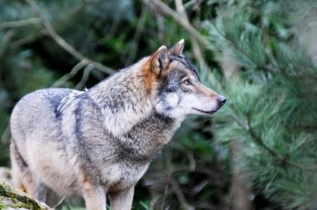 perceptive: Un unico lupo in primo piano deserto