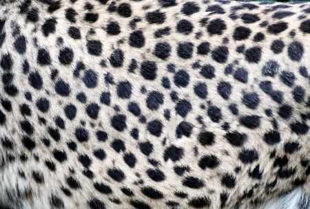 Abstract background of real cheetah fur photo
