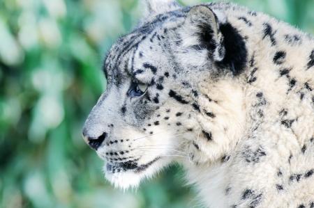leopard head: Closeup profile portrait of snow leopard head