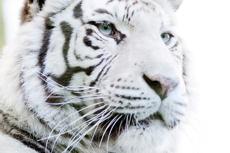 Nahaufnahme der weißen Tiger mit Pelzdetail und Streifen Standard-Bild - 18068969
