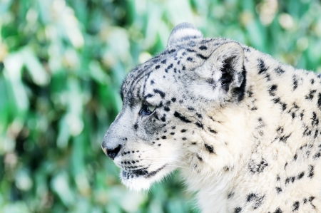 leopard head: Closeup of snow leopard head and face in profile with fur detail Stock Photo