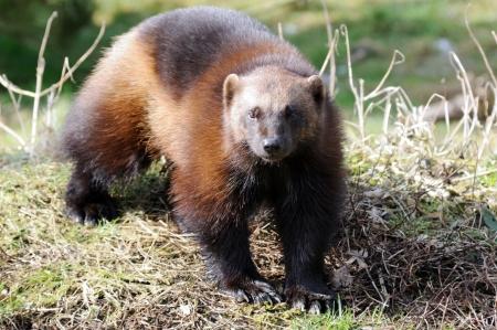 wolverine: Wolverine standing in bright sunshine with grass behind Stock Photo
