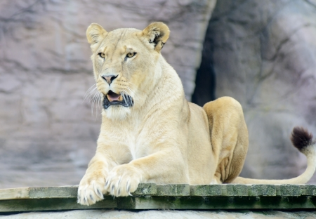 panthera leo: Lioness with mouth open looking alert and dangerous