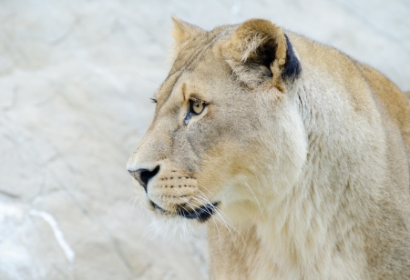 Closeup profile of lioness head and face photo