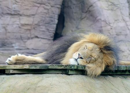 Lazy male lion is sleeping in daytime Standard-Bild