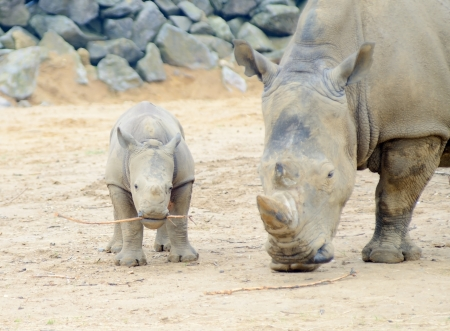 Baby rhinoceros playing with stick and mother protective photo