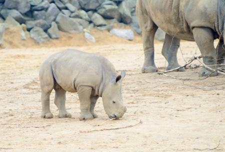 Baby rhinoceros feeding with mother in background photo