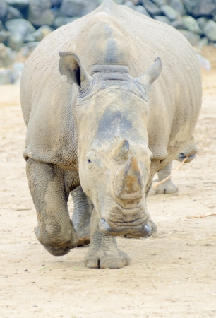 Rhinoceros charging straight at camera looking dangerous photo