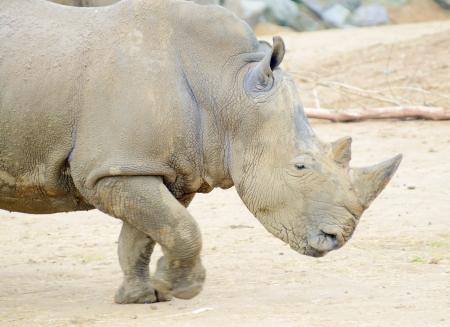 Rhinoceros profile running fast or charging photo