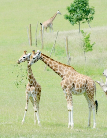 Giraffe mother feeding her baby with leaves on a branch photo