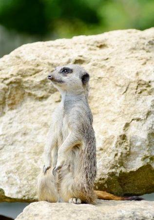 upright: Meercat standing upright looking out for danger