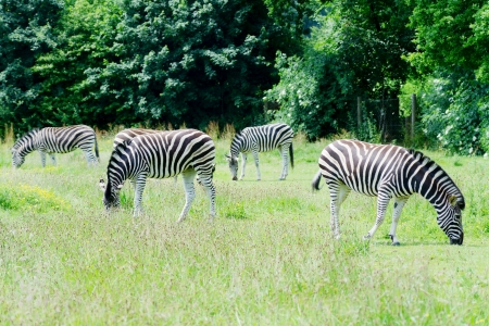grassing: Herd of zebra grassing on grassland in sunshine