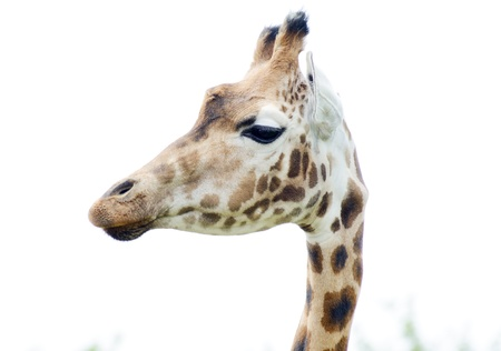 spotted fur: giraffe head in profile close showing fur spotted pattern detail Stock Photo
