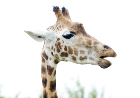 munching: Giraffe chewing on food closeup profile showing head and neck detail