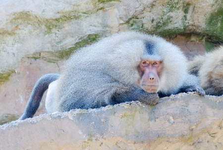 mischevious: A lone baboon laying on a rock looking and watching