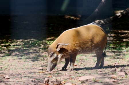 bush hog: Red river hog looking for food on a sunny day Stock Photo
