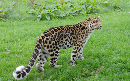 prowler: Leopard full length looking for prey with spots and fur Stock Photo